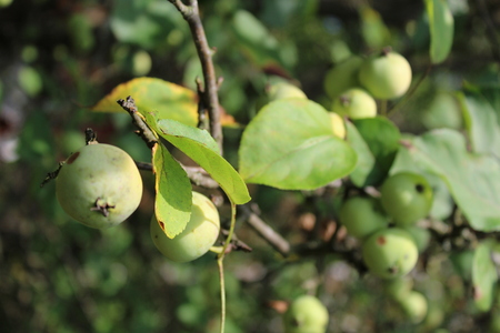 fruitage: apples