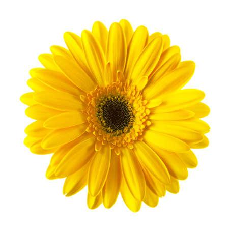 Gele madeliefjebloem die op witte achtergrond wordt geïsoleerd