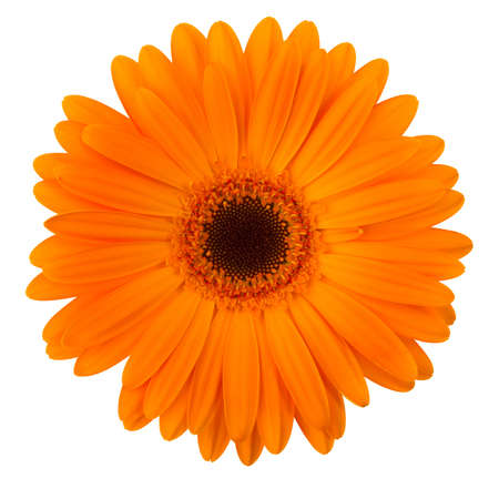 single object: Orange daisy flower isolated on white background