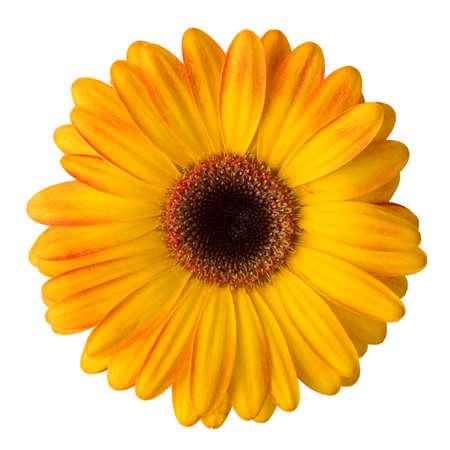 Jaune de fleur de marguerite isolé sur fond blanc Banque d'images - 14491357