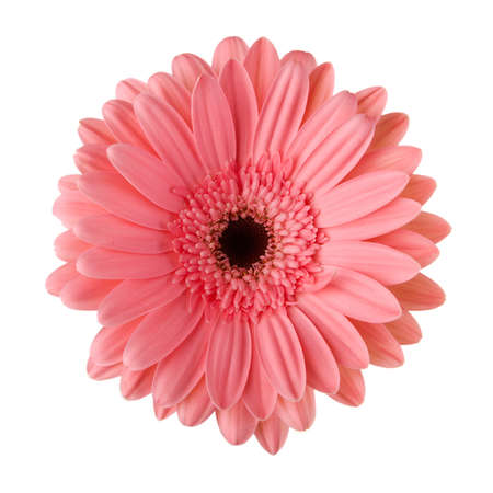 Pink daisy flower isolated on white background photo