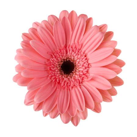 Rosa Blume Daisy isoliert auf weißem Hintergrund Standard-Bild