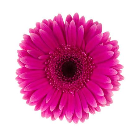 Rosa Daisy Blume isoliert auf weiß Standard-Bild