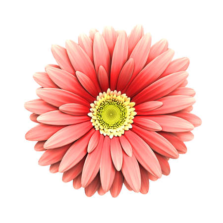 closeup of pink daisy with: Pink daisy flower isolated on white background - 3d render