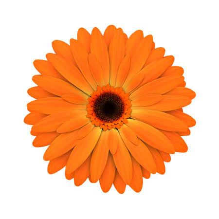 3d flower: Orange daisy flower isolated on white background - 3d render  Stock Photo