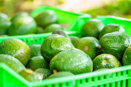Avocado 写真素材