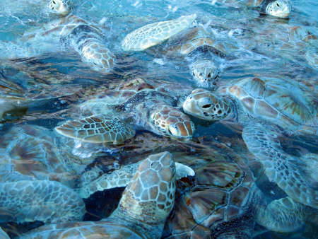 mujeres: Some marine turtles at Isla Mujeres in Mexico