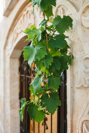 Beautiful green leaves of decorative grapes hang on the background of street latticed door in the bas-relief wall.