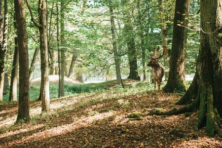 Beautiful deer with branched horns stands on a hill in an autumn forest among trees.