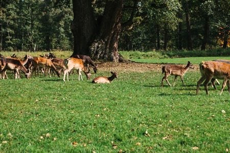 A group of young deer walks through a warm green sunny meadow in a forest next to the trees Stock Photo
