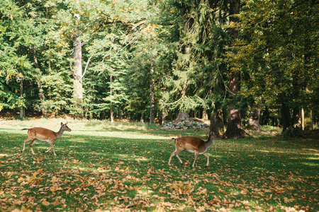 A group of young deer walks through a warm green sunny meadow in a forest next to the trees Archivio Fotografico