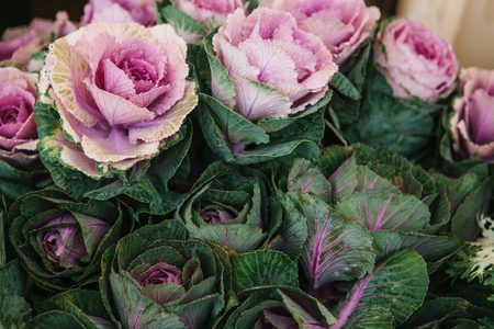 Sale of flowers called ornamental cabbage. Street flower tent.