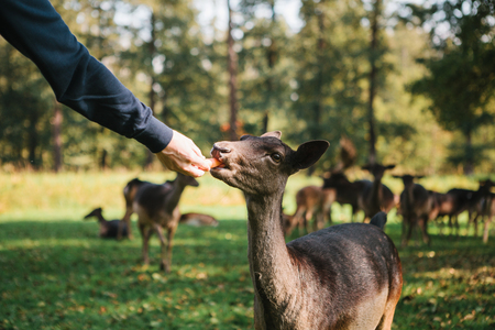 A volunteer feeds a wild deer in the forest. Caring for animals. Stock Photo