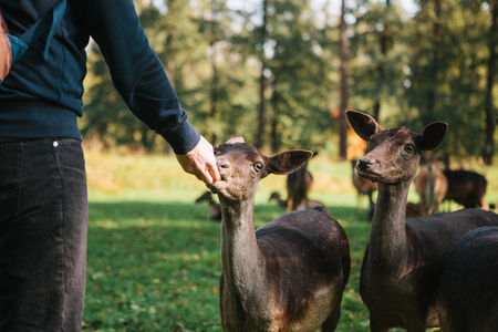 A volunteer feeds a wild deer in the forest. Caring for animals. Archivio Fotografico