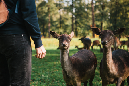 A person stands next to young deer in a natural habitat