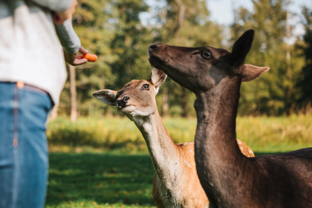 A volunteer feeds a wild deers in the forest. Caring for animals. Stock Photo