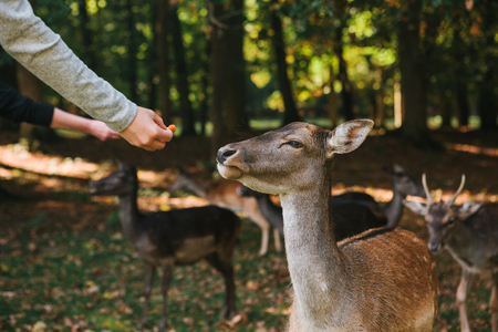 People feed a group of deer in the forest. Caring for animals.