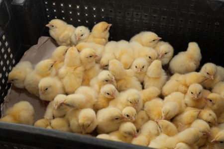 Many yellow little chickens in a box on a chicken farm.