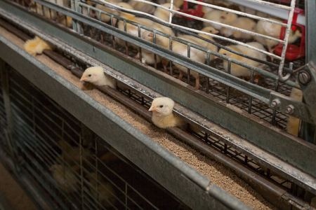 There are many small chicks in a cage in a factory for growing chicken meat products.