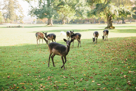 Animals are looking for food. A group of young deer walks through a warm green sunny meadow next to the trees Archivio Fotografico