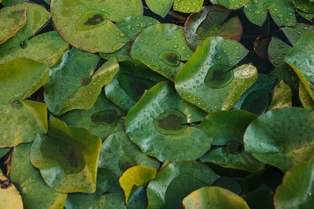 Many leaves of the water lily in the pond