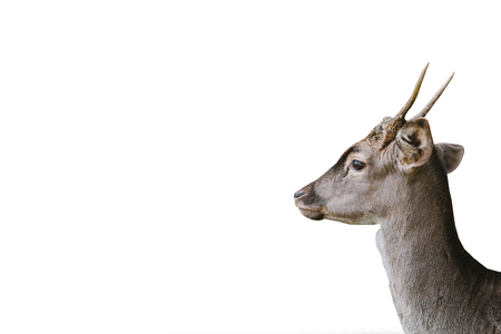 The head of a young deer is isolated on a white background. Wild animal. Фото со стока
