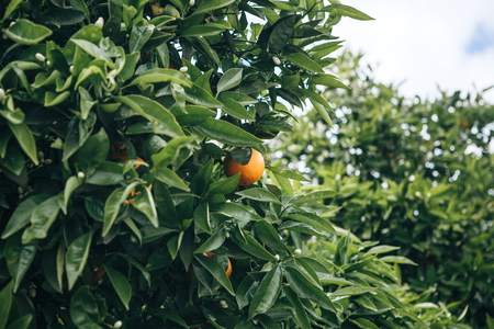 Orange trees with oranges on them in the garden against the blue sky. Delicious and healthy food