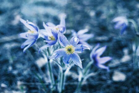 Beautiful spring flowers. Crocuses or snowdrops in spring