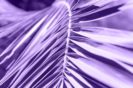 Close-up Palm branch in colorultraviolet. Tropical plant in trend color.