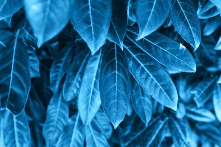 Closeup leaves in galaxy blue color. The leaves of the plant in a trend color. Reklamní fotografie