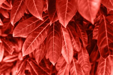 Leaves in color living coral. Leaves of a tree or plant in a trend color.