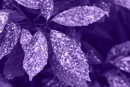 Closeup leaves in ultraviolet color. The leaves of the plant in a trend color.