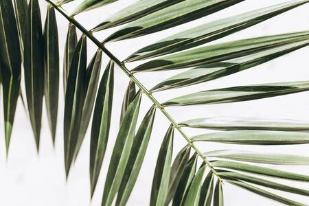 Closeup of palm branch. Tropical plant on a white background