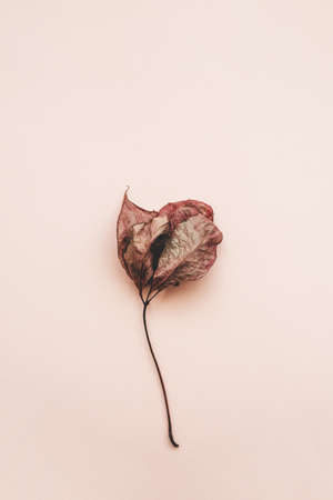 Wilted leaf on a pink background. Aging process concept. Standard-Bild
