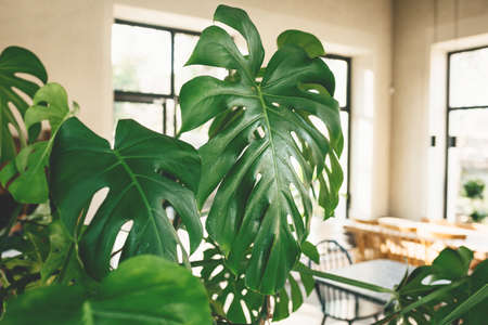 Close up of leaves of monstera plant. Room interior decoration.