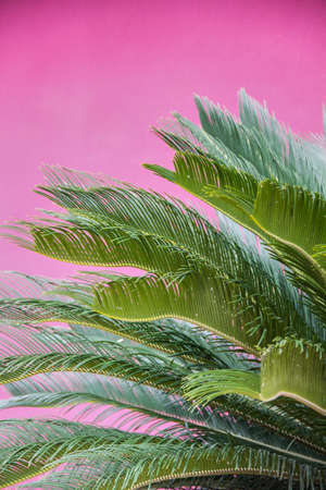 Palm Leaves on Pink Background Archivio Fotografico