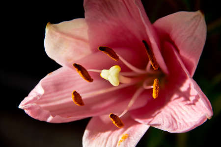 Pink Lily Blossom on Black Background Archivio Fotografico