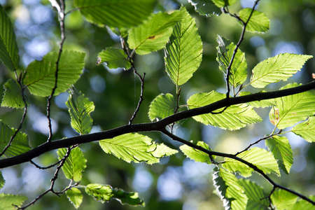 Birch Leaves on Twig in Backlight