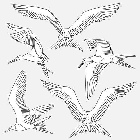 frigate: Hand drawn isolated illustration of frigate birds