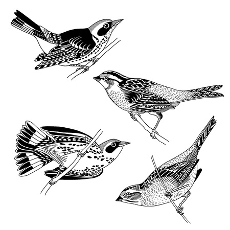 Hand drawn sparrows and warblers, black and white ink illustration
