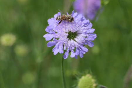 Bee collecting pollen on a bachelor's cornflower, called blue button flower