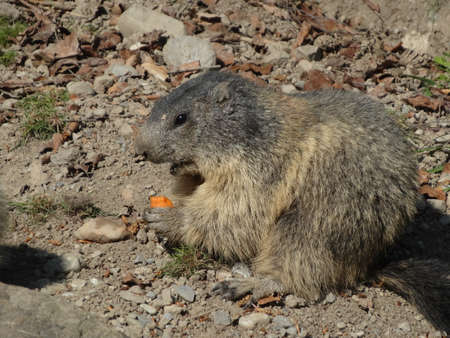 Cute marmot in a zoo or animal park nibbles at a carrot Banque d'images