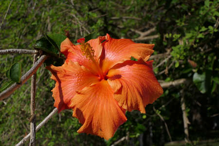 Close-up of an orange hibiscus flower in full bloom