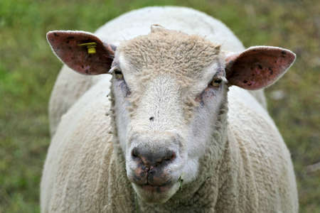 Closeup face of a white sheared sheep in a green pasture Stok Fotoğraf