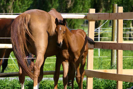 Horses - closeup brown mare and her cute looking foal standing on a green pasture near a fence on a sunny summer day