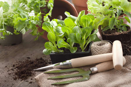 plantlet: Vegetable plantlet and gardening tools Stock Photo