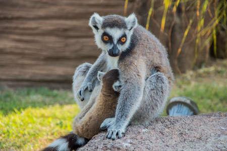 Ring Tailed Lemur - Puppies