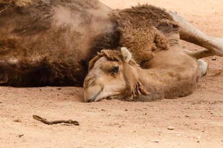 dromedary: a dromedary lying on the ground resting Stock Photo