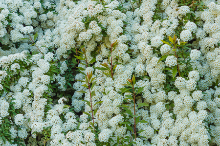 Detail of a clusters of white flower of the spirea stock photo detail of a clusters of white flower of the spirea stock photo picture and royalty free image image 77068511 mightylinksfo