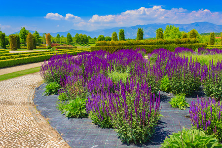 an expanse of purple sage flowers in the vegetable -garden  of Venarias royal  palace near Turin,in Piedmont (ITALY)